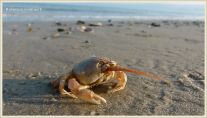 Masked Crab waiting for the tide to come in