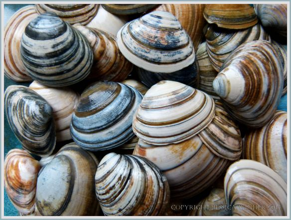 A heap of striped bivalve shells