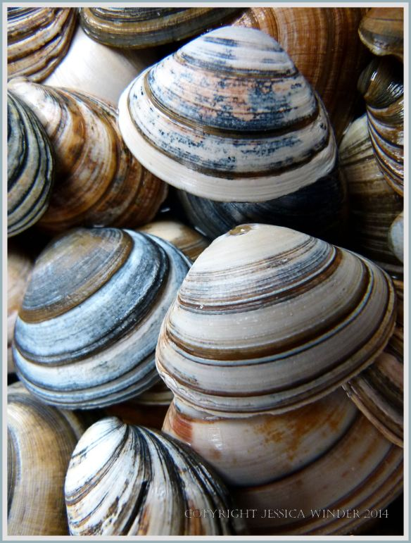 Close-up of striped seashells from Studland