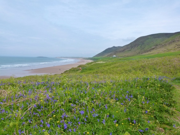 Bluebells and new ferns on the terrace of Rhossili Down