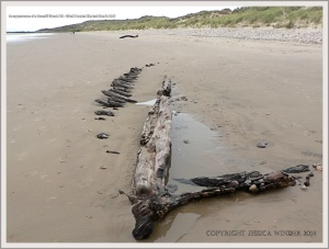 Remains of wooden ships ribs from a wreck buried in sand