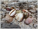 Seashells on driftwood at Normanby Island
