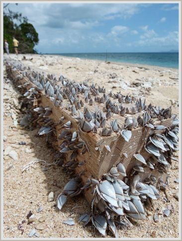 Goose barnacles on driftwood at Normanby island