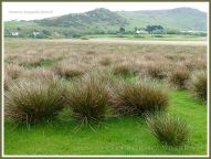 Rushes on a Gower marsh