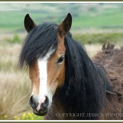 Wild Gower pony on Llangennith Marsh