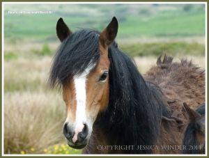 Wild Gower pony on Llangennith Marsh