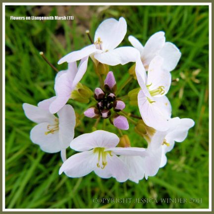 Gower flower on Llangennith Marsh