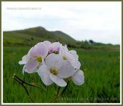 Marsh flowers in Gower