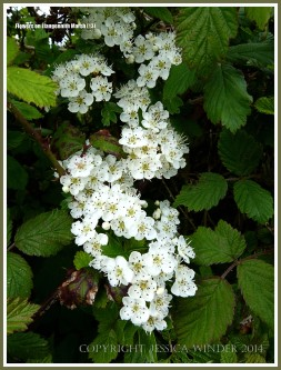 Bramble blossoms in spring