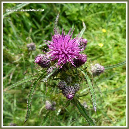 Gower flower