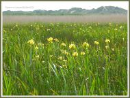 Gower flowers on the marsh