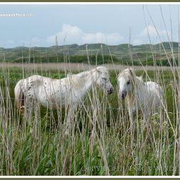 Gower ponies