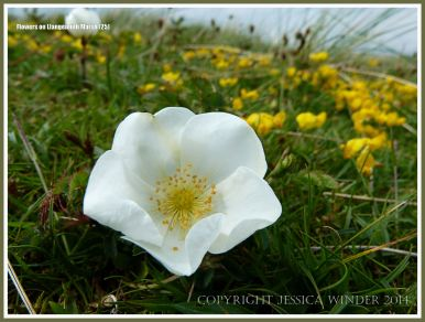 Gower flowers