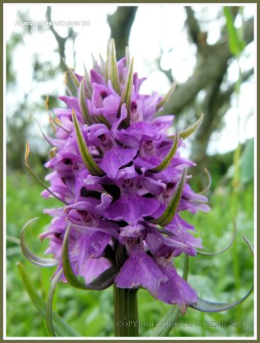 Gower orchid