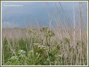Dry reeds and white flowers on Gower