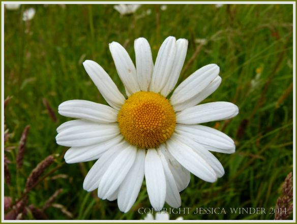Ox-eye daisy - a common British wild flower