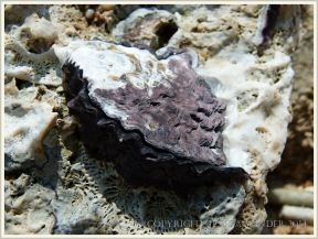 Live rock oyster attached to dead coral on the beach at Normanby Island