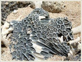 Coral embedded in cay sandstone (beach rock) on Normanby Island