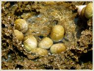 Nerite gastropod molluscs living in a rock pool on Normanby Island