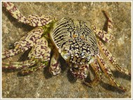 Moulted crab shell in rock pool on Normanby Island