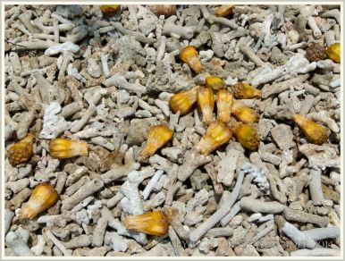 Pandanus fruits of bleached coral fragments on the shoreline at Normanby Island