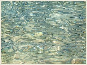 Water pattern with fish shoal in shallow water