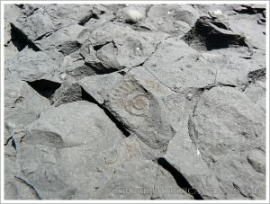 Impression of a small ammonite fossil