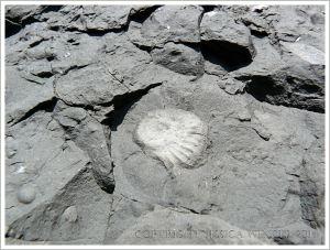 Small ammonite fossil in Jurassic limestone
