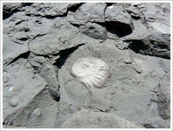Small ammonite fossil in Jurassic limestone