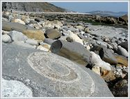 Large ammonite fossil in a boulder on Monmouth Beach