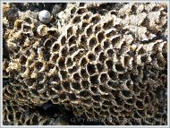 Honeycomb worm tubes made of sand at Lyme Regis