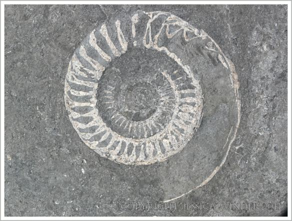 Large Jurassic ammonite fossil in a beach boulder