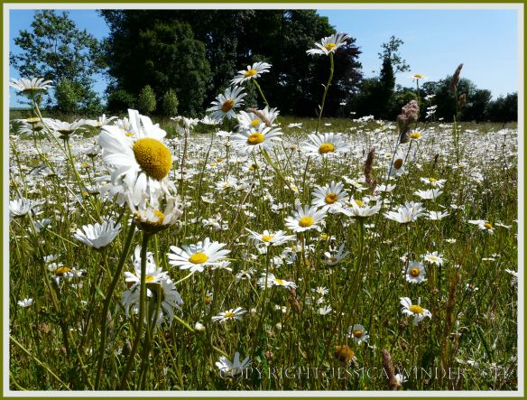 Ox-eye Daisies - a common British wild flower