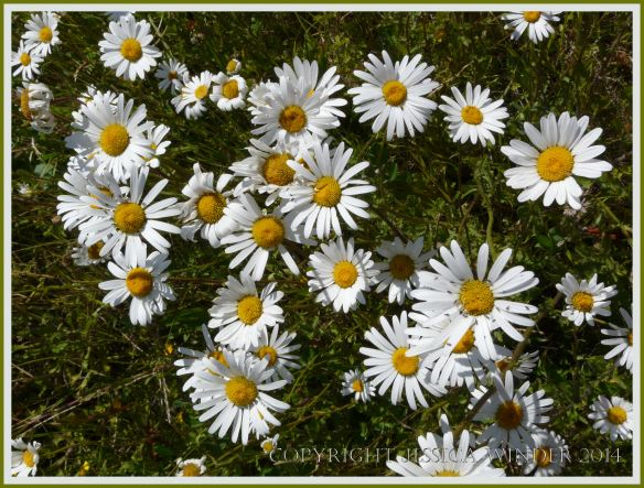 White flowers with yellow centres growing wild in a meadow