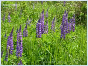 Wild lupins on Grand Manan