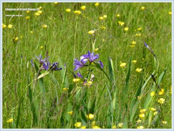 Buttercups and iris in a meadow on Grand Manan