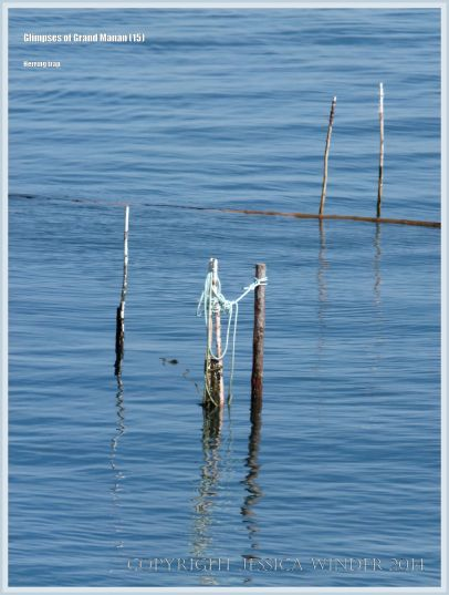Posts from a herring fish trap at Grand Manan.