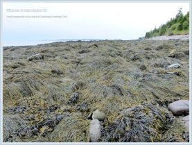 Brown fucoid seaweed covering the shore at Anchorage Provincial Park on Grand Manan