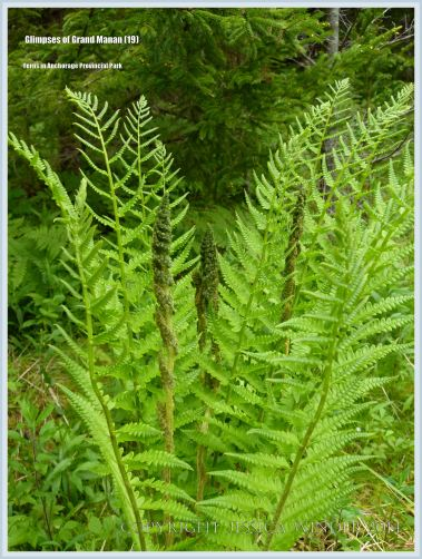 Ferns on Grand Manan