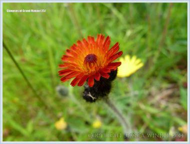 Wild flower on Grand Manan