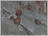 Clay galls in Joggins rocks