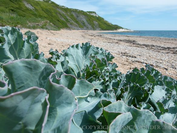 A Sea Kale plant growing on seashore shingle at Ringstead Bay