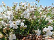 Sea Campion (Silene uniflora) a common British seashore flower