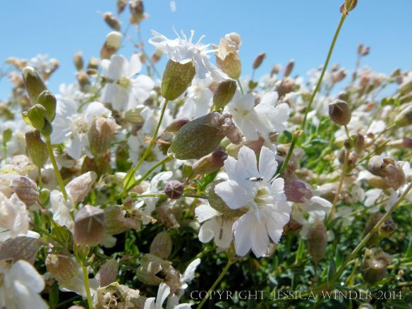 Sea Campion (Silene uniflora) a common British seashore flower