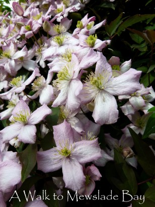 Clematis flowers hide the blackbird's nest