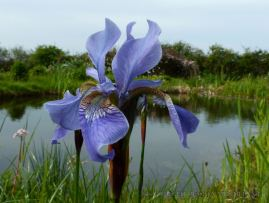 Blue iris flowering by the pond