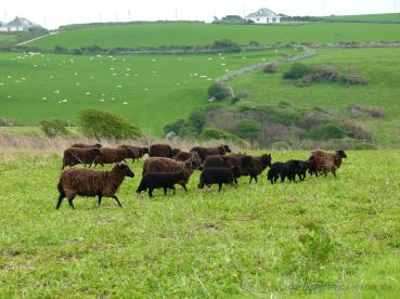 Sheep grazing in Mittens Field near Mewslade Bay