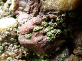 Acorn barnacles living on fault gully rocks at Mewslade Bay