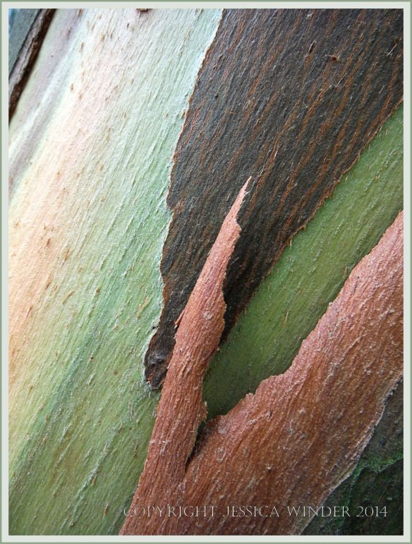 Natural abstract pattern, colour, and texture in Eucalyptus tree bark