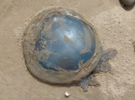 Barrel Jellyfish, also called Dustbin- lid and Root-mouthed Jellyfish